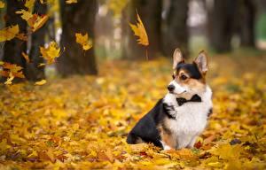 Bilder Hund Herbst Welsh Corgi Blattwerk