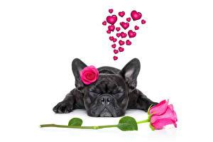 Hintergrundbilder Hunde Mops (Hunderasse) Schwarz Weißer hintergrund Herz