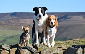 Pictures Dog Stone Three 3 Chihuahua Beagle Border Collie Staring Animals