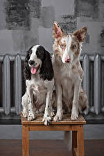 Pictures Dog Two Border Collie Spaniel Tongue Glance Animals