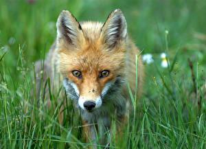 Bilder Füchse Schnauze Gras Tiere