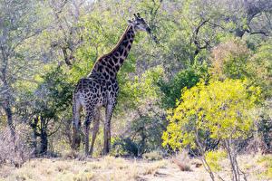 Fotos Giraffe Bäume