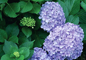 Bilder Hortensien Großansicht Blattwerk Blumen