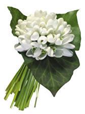 Bilder Schneeglöckchen Nahaufnahme Weißer hintergrund Blattwerk Blumen