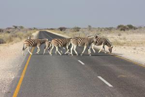 Fotos Zebra Straße Afrika Asphalt Tiere