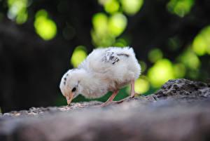 Bilder Vögel Hühner