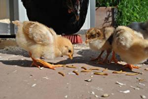 Hintergrundbilder Vögel Hühner Drei 3 Tiere