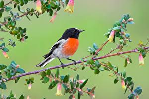 Hintergrundbilder Vögel Farbigen hintergrund Ast Scarlet Robin Tiere