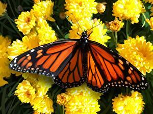 Fotos Schmetterlinge Hautnah Monarchfalter