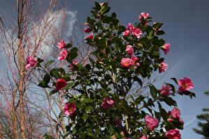 Fotos Kamelien Rosa Farbe Ast Blumen