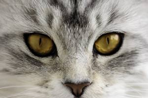 Hintergrundbilder Katze Augen Nahaufnahme Makrofotografie Blick Nase ein Tier