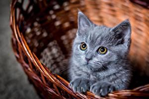 Fotos Katzen Katzenjunges Graues Blick Weidenkorb Tiere