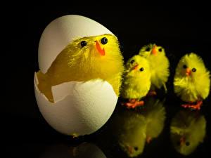 Bilder Hühner Schwarzer Hintergrund Eier Tiere