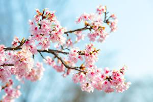 Bilder Großansicht Japanische Kirschblüte Ast Blumen