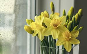 Hintergrundbilder Narzissen Gelb Blumen