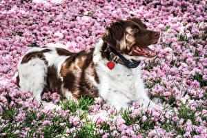 Bilder Hunde Blühende Bäume Shepherd Australian