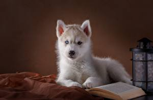 Papel de Parede Desktop Cão Husky siberiano Cachorrinho Branco animalia