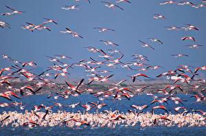 Fotos Flamingos Viel Wasser Flug