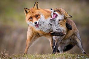 Pictures Foxes Two Hugs animal
