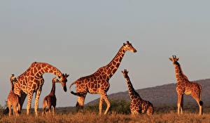 Hintergrundbilder Giraffe Jungtiere Abend