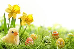 Hintergrundbilder Feiertage Ostern Narzissen Hühner Ei Gras