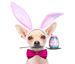 Photo Holidays Easter Dogs White background Egg Chihuahua Bow knot Spoon Bow tie Animals