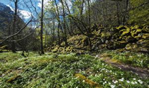 Bilder Norwegen Frühling Schneeglöckchen Steine Bäume Laubmoose Forsand Rogaland Natur