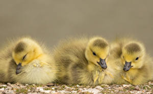 Fotos Vögel Hühner Drei 3 Tiere