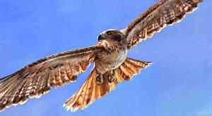 Hintergrundbilder Vögel Habicht Flug Flügel