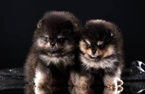 Picture Dogs Spitz Black Two Fluffy Puppies Animals