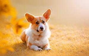 Hintergrundbilder Hund Welsh Corgi