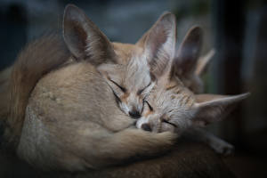 Picture Foxes Fennec fox Two Sleeping animal