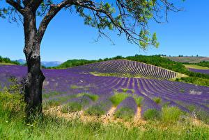Hintergrundbilder Frankreich Felder Lavendel Hügel Baumstamm Puimichel Natur