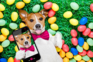 Pictures Holidays Easter Dogs Jack Russell terrier Egg Smartphones Tongue Selfie Funny animal