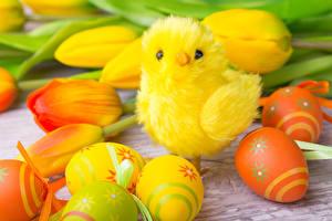 Fotos Feiertage Ostern Tulpen Hühner Ei
