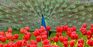 Bilder Pfau Tulpen Tiere Blumen