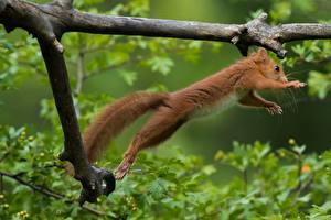 Hintergrundbilder Eichhörnchen Ast Sprung Tiere