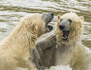 Images Bear Polar bears Water 2 Water splash Animals