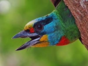 Bilder Vögel Makrofotografie Großansicht Schnabel Kopf Megalaima oorti Tiere