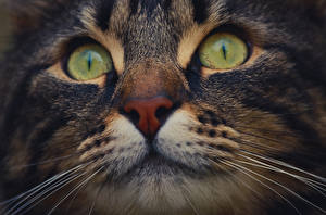 Hintergrundbilder Hauskatze Makrofotografie Großansicht Augen Schnurrhaare Vibrisse Schnauze ein Tier