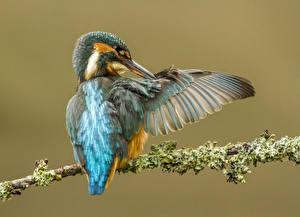 Hintergrundbilder Eisvogel Vögel Farbigen hintergrund Ast Tiere