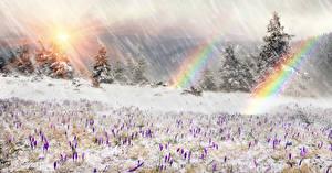 Bureaubladachtergronden Krokussen Spar sparren Sneeuw Regenboog