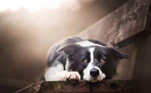 Tapety na pulpit Psy domowe Border collie Ławka Spojrzenie Słodki Piękna Zwierzęta