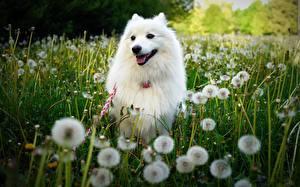 Image Dogs Taraxacum White Grass Animals
