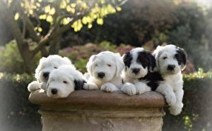 Desktop wallpapers Dog Puppies Old English Sheepdog animal