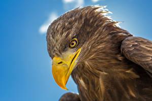 Image Eagle Bird Closeup Beak Head Animals
