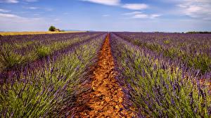 Bilder Acker Lavendel Natur
