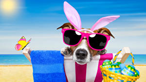 Pictures Holidays Easter Dogs Butterflies Eggs Jack Russell terrier Glasses Wicker basket Funny Rabbit ears animal