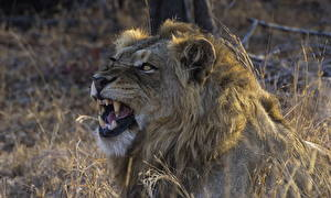 Image Lions Canine tooth fangs Roar Animals