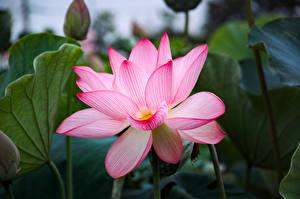 Fotos Lotosblume Großansicht Rosa Farbe Blumen